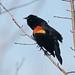 Red-winged Blackbird by Adam Turow