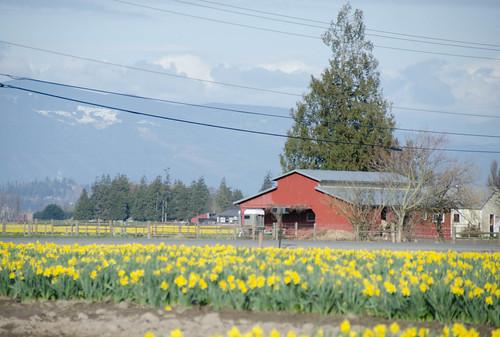 Skagit Daffodils-44