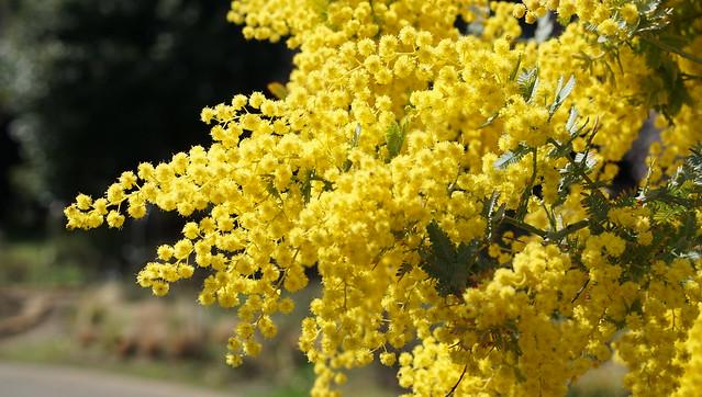 DSC07406花菜ガーデン