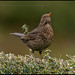 FEMALE BLACKBIRD by malcolm thorngate