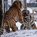 YWP: Tiger Tantrum 3