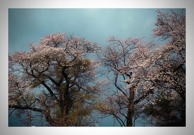 Cherry Blossom......last yer #1