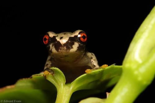 Critically endangered Honduran spikethumb froglet (Plectrohyla dasypus)