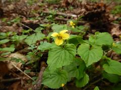 Viola glabella_04202018