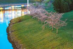 Sakura | Kaunas