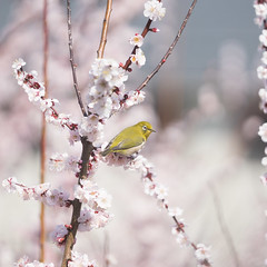 Japanese white-eye and plum blossoms