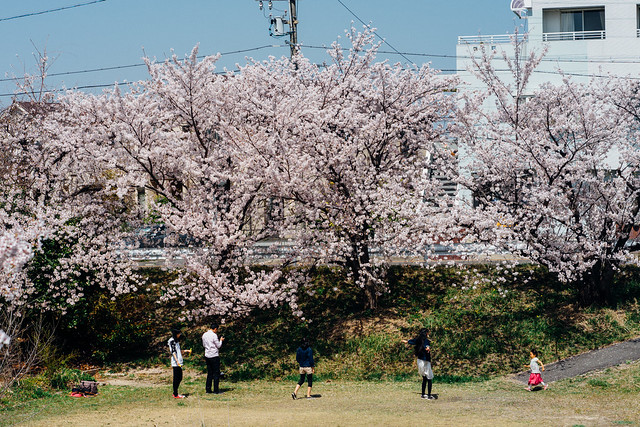 CherryBlossoms_87