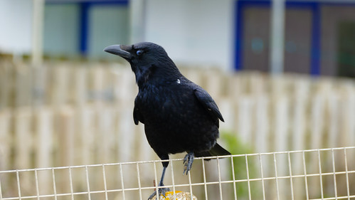 Carrion crow on fence and fence post