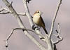 Woodchat Shrike by Wild Chroma