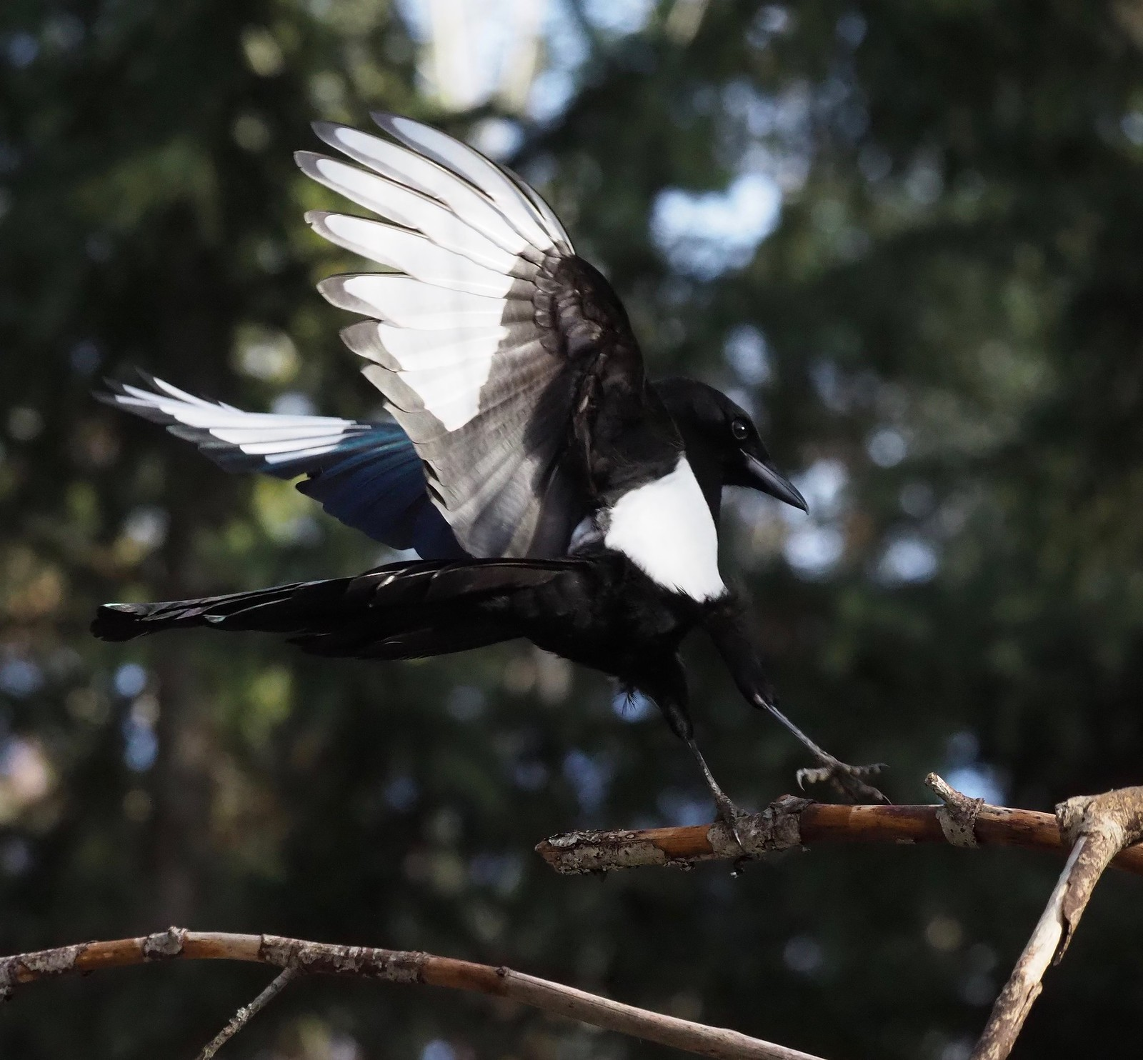 Touchdown. Black Billed Magpie.