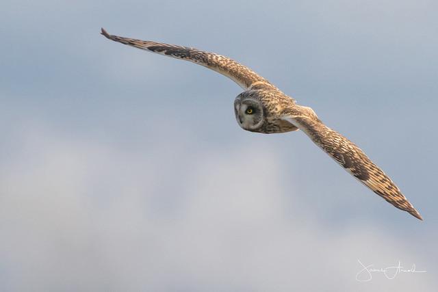Short Eared Owl, Canon EOS 7D MARK II, Canon EF 400mm f/4 DO IS