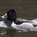 Ring-necked Duck by MaggyN