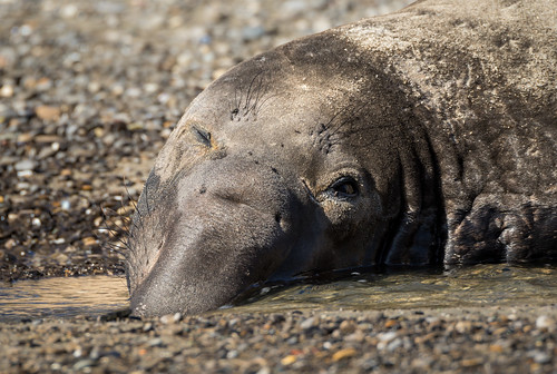 Male Northern Elephant Seal (Mirounga angustirostris) resting in a stream | by Wade Tregaskis