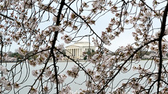The Jefferson Memorial as Seen Across the Tidal Basin Through Cherry-Blossom Branches