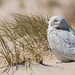 Snowy Owls of New Jersey | 2018 - 27