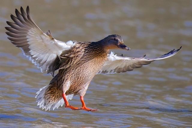 It's a duck.......