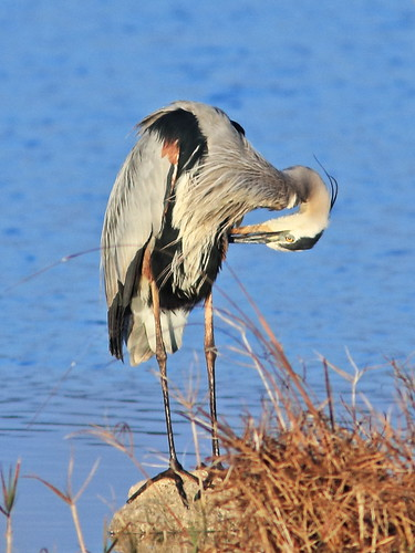 Great Blue Heron 02-20180326