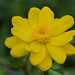 Large buttercup by jim_mcculloch