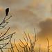 Kestrel at dusk