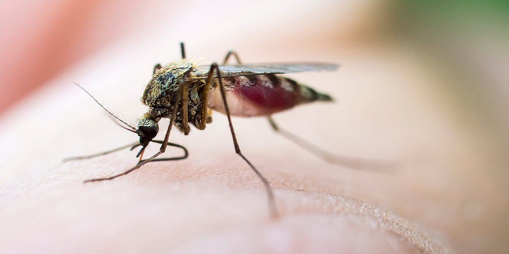 La salive des moustiques pourrait aider à guérir les caillots sanguins