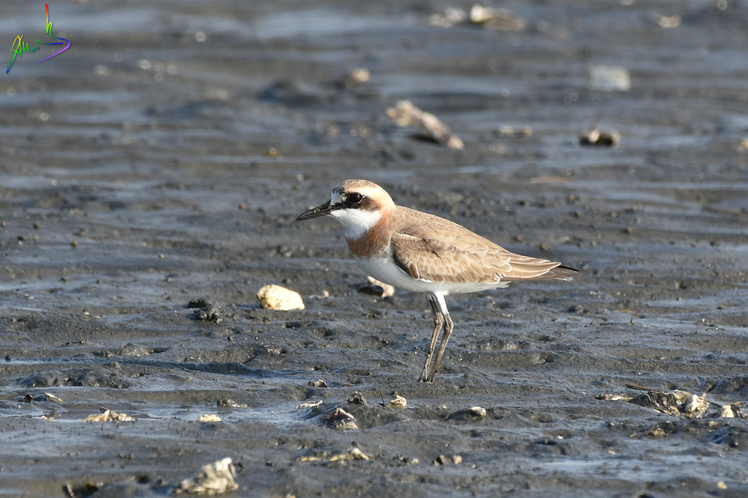 Greater_sand_plover_2215
