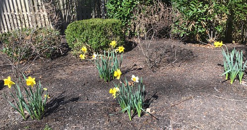 Daffodils Recovery