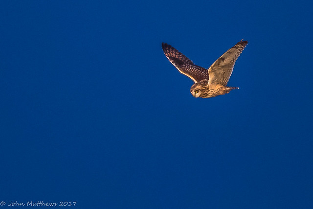 Short-eared Owl-6735.jpg, Canon EOS 7D MARK II, Canon EF 600mm f/4L IS