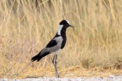 Blacksmith Lapwing (Vanellus armatus), Etosha NP, Oshikoto Region, Namibia
