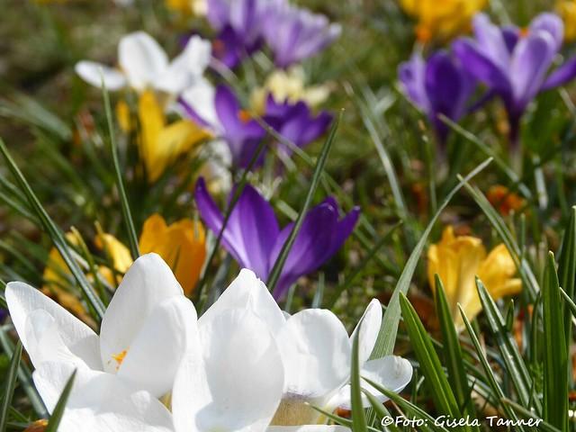 Krokusse retten den Frühling