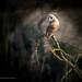 Barn owls through a bush