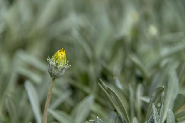 daisy bud