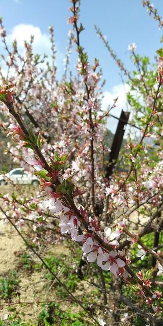꽃비 내리는 봄날 | 앵두꽃