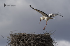 Vuelos de aves (Bird flights). Flamencos y cigüeñas (flamingos and storks)