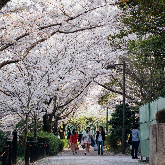 CherryBlossoms_210