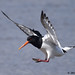 oystercatcher 4 2018 in flight