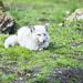 20180415_F0001: Snow white resting on green grass
