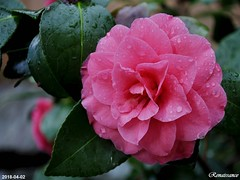 Camellias in the backyard