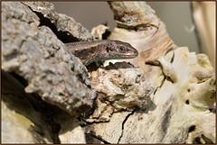HolderCommon Lizard (image 2 of 3)