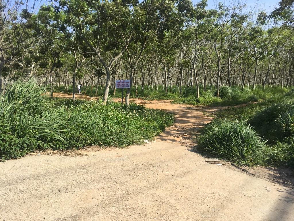 【台中旅遊景點推薦】后里龍貓隧道 - 無患子森林 尋路中