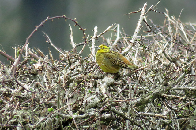 Yellowhammer - Emberiza citrinella