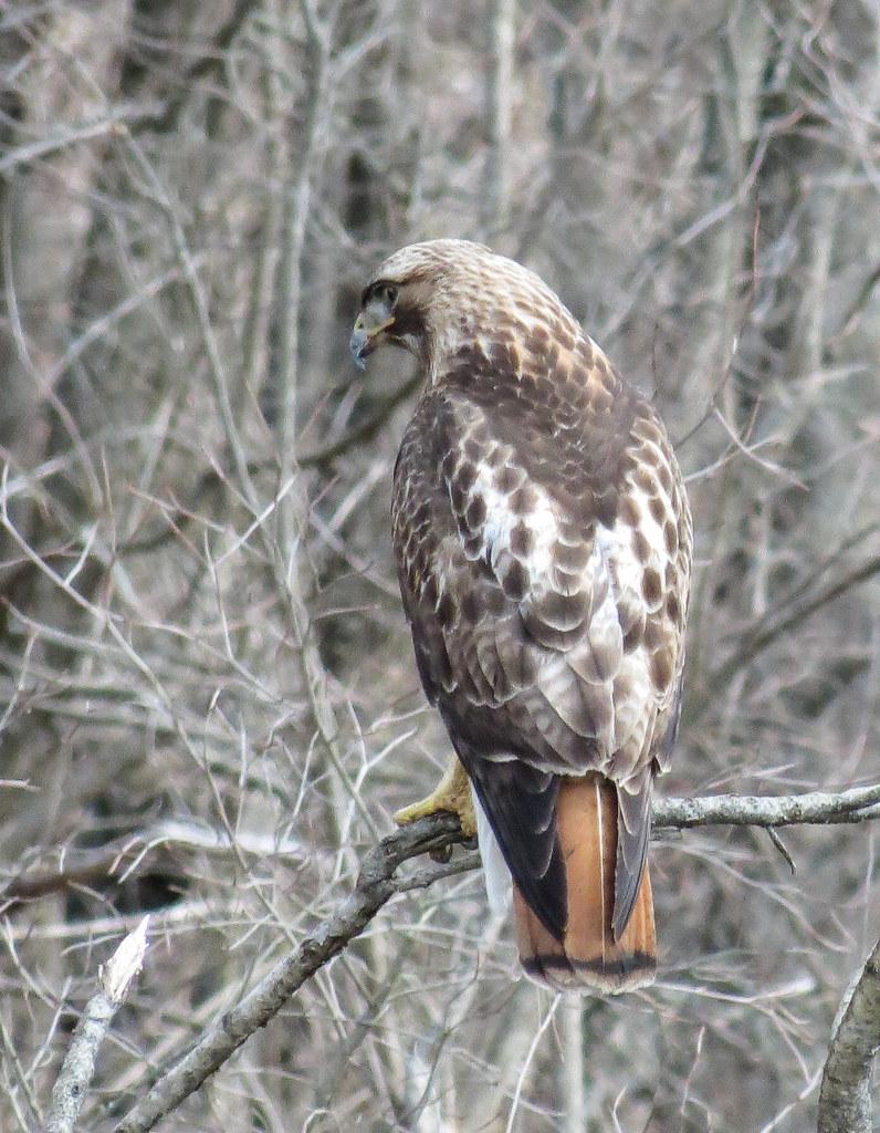 Red-tail Hawk, at the Acton Arboretum