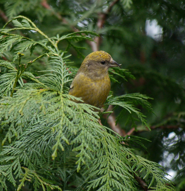 Red Crossbill, Panasonic DMC-G7, LUMIX G VARIO 100-300mm F4.0-5.6