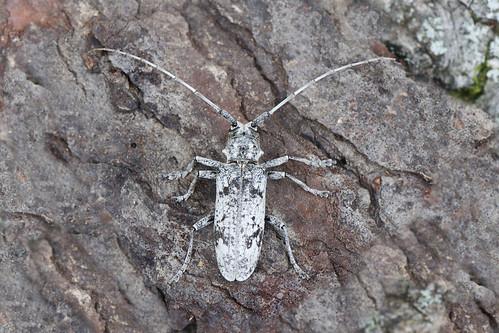 whiteoakborer goestigrinus longhornedbeetles monochamini insectphotosbydavewendelken nikkor105mmf28gvrmicro