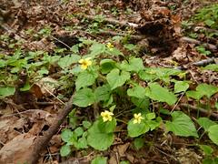 Viola glabella_2_04202018
