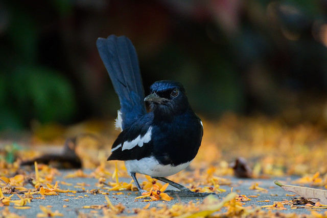 Hey camera guy, how I this for a pose?  - Oriental Magpie Robin (धोबी चरा)
