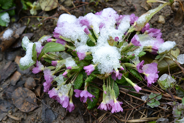 primula,flower,winter, Primula covered with snow