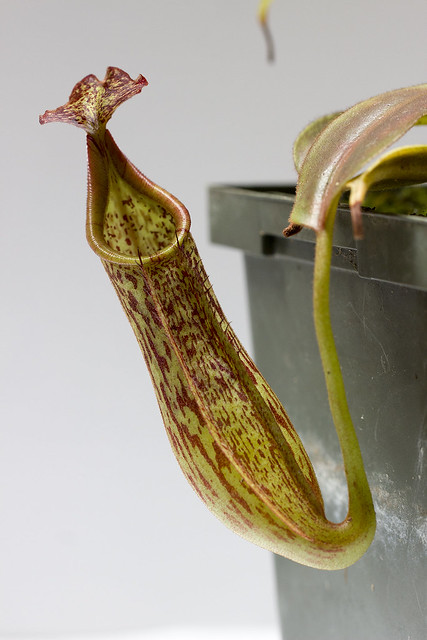 Nepenthes eymae BE-3660 sg