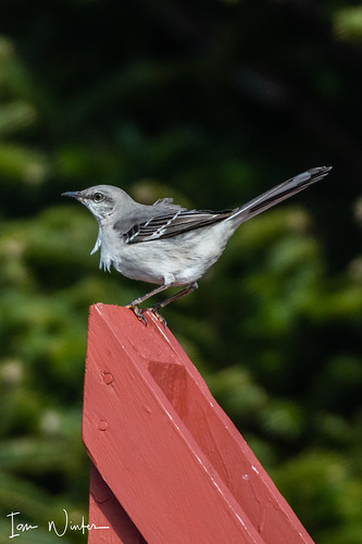Northern Mockingbird-18-3