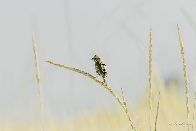 A fragile balance - Savannah Sparrow