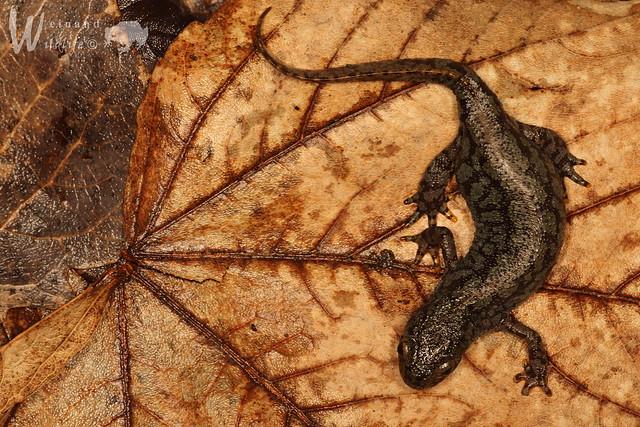 Bergmolch ♀ (Ichthyosaura alpestris alpestris), Canon EOS 650D, Sigma APO Macro 150mm f/2.8 EX DG HSM